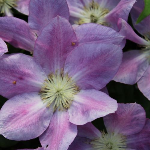 Clematis Change of Heart x 3 Litre